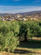 bandeau-olivier