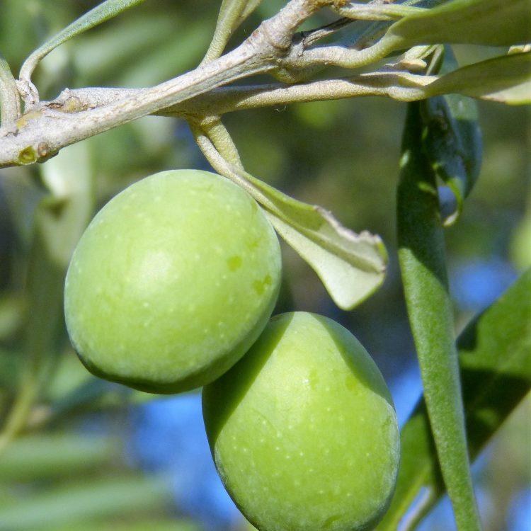 Olives de l'Algarve au Portugal